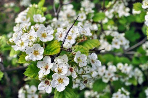 https _cf.ltkcdn.net_garden_images_std_204738-678x450-Hawthorn-flowers